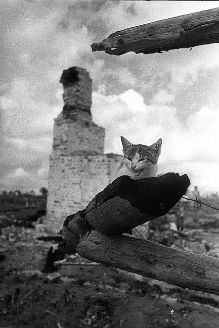 Котенок на пепелище города Жиздра, Калужская область, август 1943 г. Перед отступлением оккупанты в течение двух недель планомерно уничтожали город, сжигая его поквартально. Каменные церкви и дома взрывались. В результате город был уничтожен полностью. Также были отравлены колодцы, заминированы дороги, тротуары и огороды. Трудоспособная городская молодежь была насильно отправлена в Германию. Из воспоминаний автора фотографии М. Савина: «В этом небольшом городе Жиздра после боев я никого не нашел в живых, кроме этой пораненной кошки».