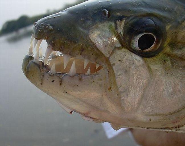 Зубастики