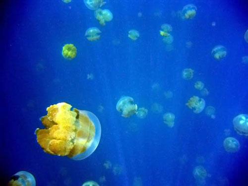 Медузье озеро Медузы не ядовиты, оказавшись в замкнутом пространстве, они перешли на другой тип питания и их щупальцы со временем утратили способность жалить.