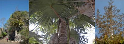 Десять самых странных соседей Пальма Tahina spectablilis, найденная на северо-западе Мадагаскара, представлена менее чем 100 экземплярами.