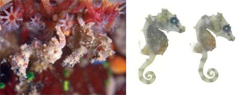 Десять самых странных соседей Морской конек Hippocampus satomiae размером менее 1,5 см своим именем обязан инструктору Сатоми Ониши