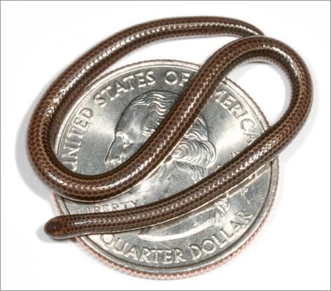 Десять самых странных соседей Длина самой маленькой змеи на планете, Leptotyphlops carlae, всего 104 мм, а живет она на Барбадосе.