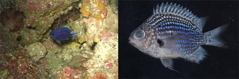 Десять самых странных соседей Красивая рыбка Chromis abyssus попала в список благодаря тому, что именно ее внесли первой в новую таксономическую базу данных Zoobank