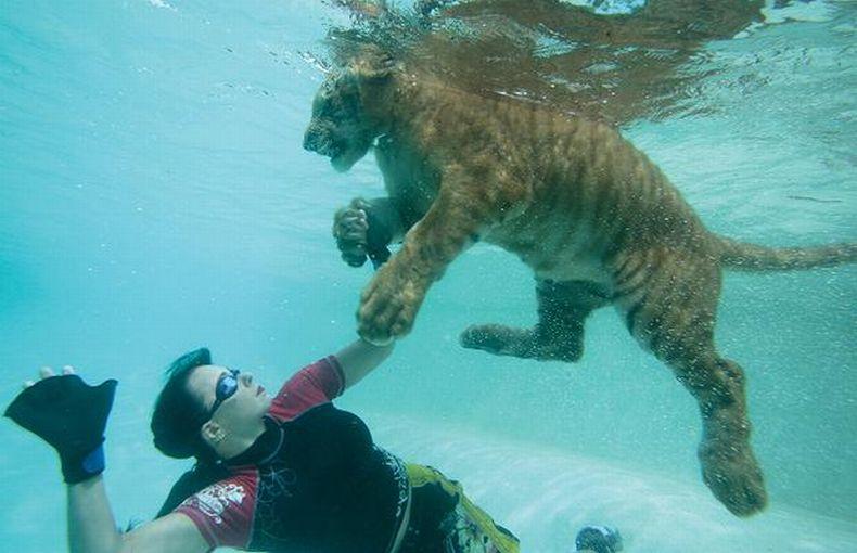 В бассейне с тиграми