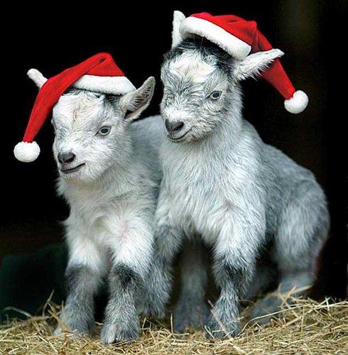 Лучшие Рождественские фотографии Рождественские козлята в парке развлечений Kids Crealy Adventure Park в городе Эксетер, Англия