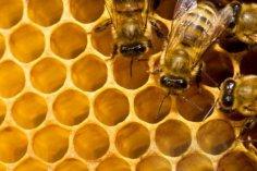 Что такое дикий мед и где живут бортевые пчелы?