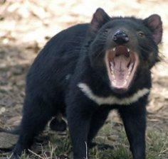 Тасманийский дьявол: где и как он живёт?