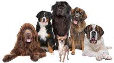 Поводыри, ищейки, пастухи... Как работают собаки?