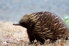 Австралийская ехидна: чего не могут понять учёные?