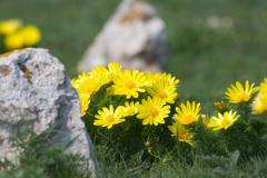 Адонис весенний, или Что нашла Афродита?
