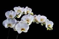 Орхидея, тропическая красавица: можно ли приручить ее в нашем климате?