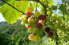 Можно ли вырастить виноград в средней полосе России?