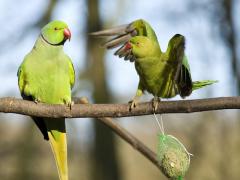 Как  живут ожереловые попугаи?