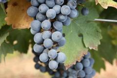 Виноградная лоза... Каков он, самый древний напиток земли?