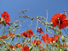 Мак. Кто он, чудо-цветок Морфея и Персефоны?