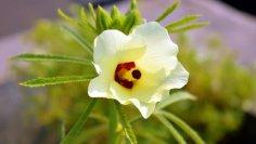 Бамия. Как вырастить вкусный и полезный африканский экзот в средней полосе?