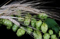 Хмель обыкновенный: чем полезно «хмельное» растение?