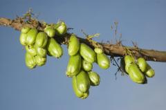 Растут ли огурцы на деревьях? Еще как!..