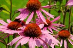 Обновление в саду? Эхинацея и лаванда