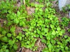 Мокрица – вредный сорняк или полезное растение?