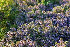 Будра плющевидная. Какая трава избавит от сорока недугов?