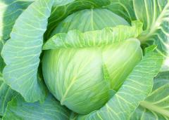 Как правильно выбрать сорт и вид капусты?