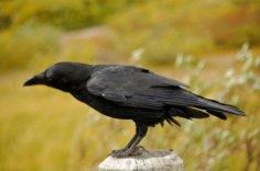 Где ты вьешься, черный ворон? Да и ты, ворона?