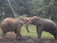 Шри-Ланка. Слон в хозяйстве пригодится?