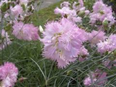 Как выращивать гвоздику в цветнике? Гвоздика перистая, китайская, травянка