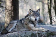 Как выглядят волки в зеркале мифов и сказок?