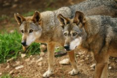 Существуют ли «дети-волки»?