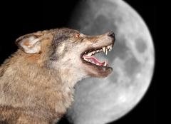 Существуют ли «люди-волки»?