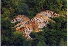 Амурский тигр: как его спасти?