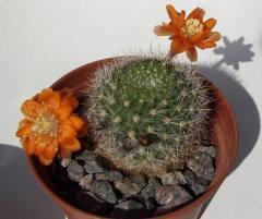 Какие кактусы зацветают в раннем возрасте? Айлостера – солнечный цветок