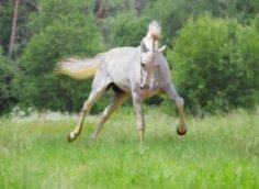 «Полканы и Лебеди» Якова Бутовича, или Чем славен Прилепский конный завод?