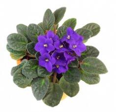 Колониальное прошлое маленького цветка, или Что вы знаете об узамбарских фиалках?