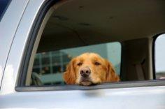 Как перевозить домашних животных в автомобиле?