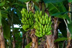 Какую траву мы любим больше всего, или Сколько лет банану?
