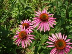 Цветок прерий эхинацея. Что интересного в её биографии? Эпизод третий