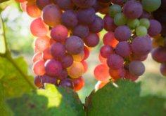 Откуда пришли вино и виноград?