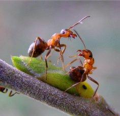 Ученые превратили муравьев в суперсолдат