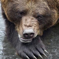 Бурый медведь загадал ученым загадку