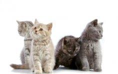 Как выбрать породу котенка?