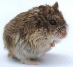 Какие бывают породы хомячков и как они живут в природе?