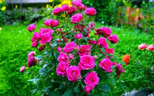 Как подготовить розы к зимовке? Из личного опыта