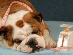 Ожирение у собаки