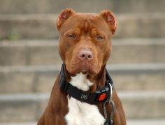 Собака-телохранитель: за и против