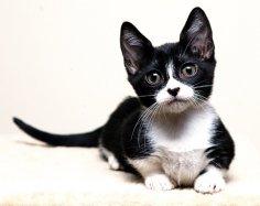 Самые популярные породы кошек: манчкин