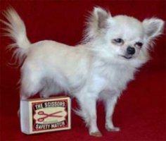 Какая собачка самая маленькая в мире?