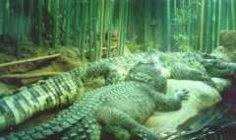 О чем нужно думать, прежде чем взять в дом животное, или Хочу крокодильчика